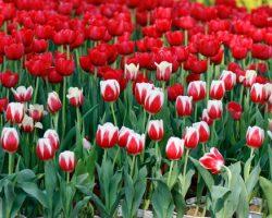 cay-hoa-tulip-